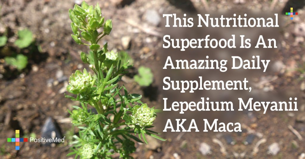 This Nutritional Superfood Is An Amazing Daily Supplement, Lepedium Meyanii AKA Maca