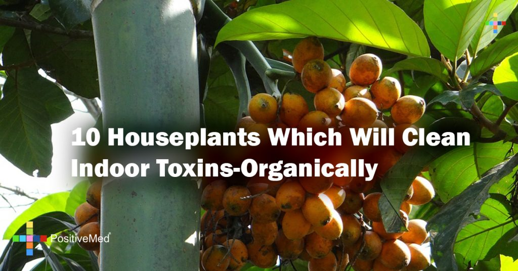 10 Houseplants Which Will Clean Indoor Toxins-Organically