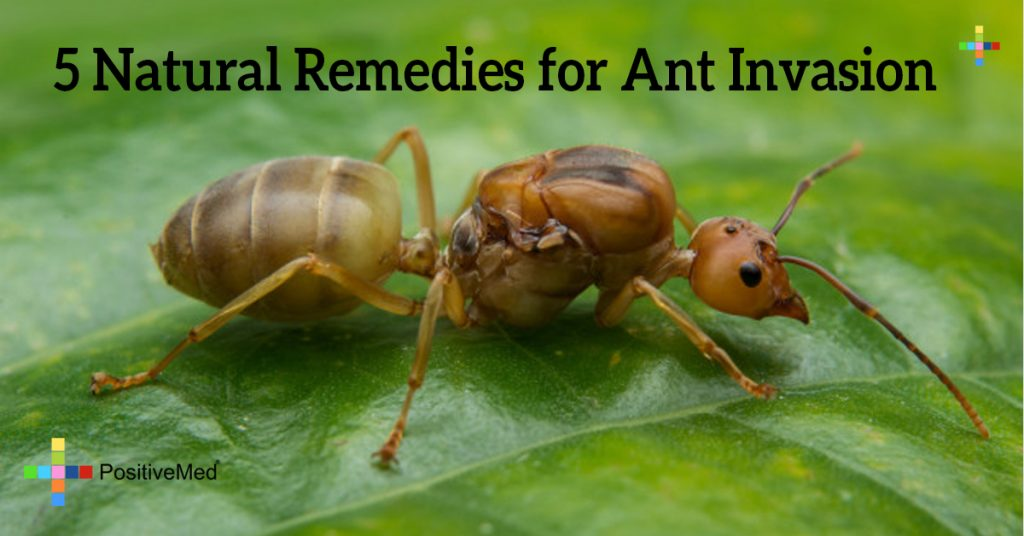 5 Natural Remedies for Ant Invasion